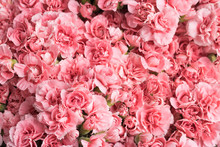 Lot Of Beautiful Flowering Pink Flowers - A Top View. Concept: Color Therapy, Beauty And Greeting Card.