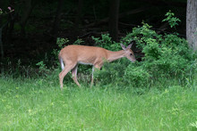 Whitetail Deer 3