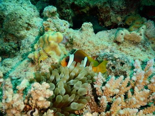 Plakat  Błazenek Nemo Ryba