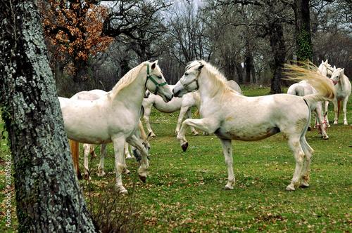 Fotomural Horses in Lipica - Slovenia