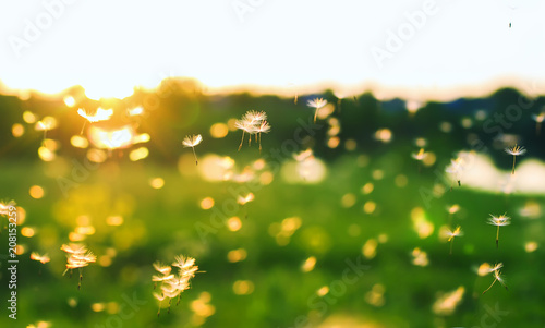 natural background with many small white light and airy dandelion seeds flying and soaring over summer at sunset