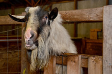 Hairy Goat With Tongue Stickin...