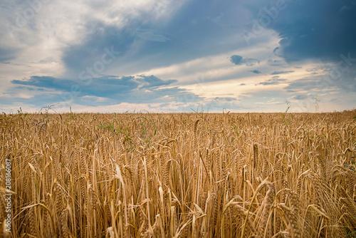 Ripe wheat in a field