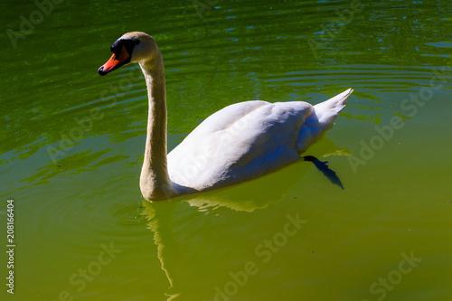 Foto op Plexiglas Zwaan White swan swimming on the lake