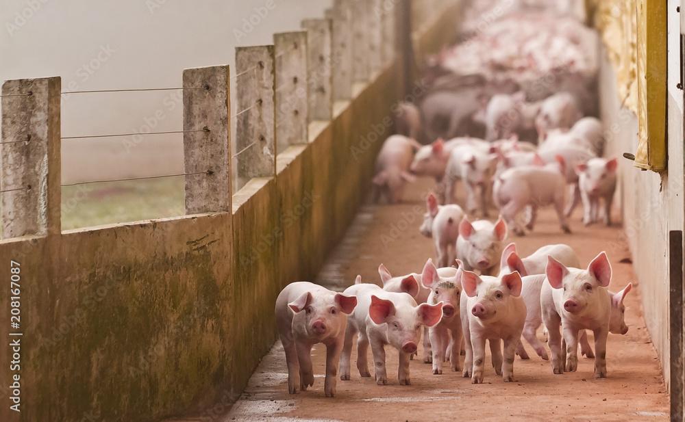 Fototapety, obrazy: leitão agronegócios