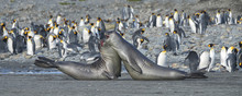 Young Elephant Seals Practicing Mock Fighting, South Georgia Island, Antarctic