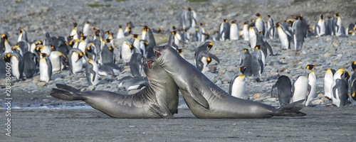 Foto auf Gartenposter Antarktika Young Elephant Seals Practicing Mock Fighting, South Georgia Island, Antarctic