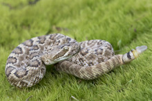 Juvenile Mojave Rattlesnake With Button Tail