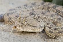 Desert Horned Viper (Cerastes ...