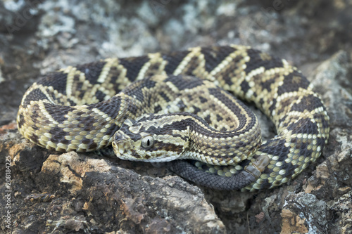 Juvenile Neotropical Rattlesnake (Crotalus simus) with 'button