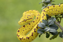 Green Tree Python (Juvenile Yellow Phase) Hunting In Rainforest Tree