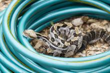 Venomous Timber (Canebrake) Rattlesnake In Garden Hose