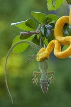 Yellow Eyelash Viper Snake Eat...