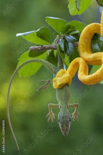 Fotografija Yellow Eyelash Viper Snake Eating Lizard