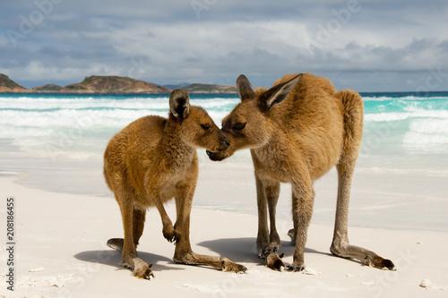 Kangaroos on White Sand Beach