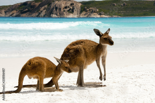 Poster Kangoeroe Kangaroos on White Sand Beach