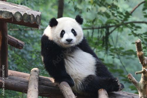 Stickers pour portes Panda Funny Fluffy Giant Panda, China