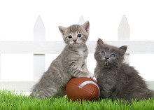 Two Small Baby Kittens Sitting In Green Grass Back Yard Next To A White Picket Fence With A Small Over Sized Football, Isolated On White.