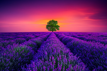 Obraz na Szkle Lawenda Tree and lavender field in Provence