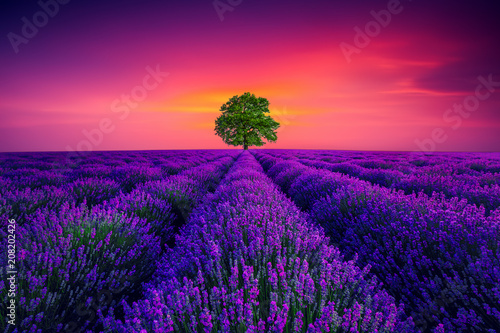 Fotobehang Violet Tree and lavender field in Provence