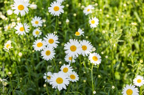 Foto op Canvas Madeliefjes Flowers, flowers chrysanthemum, Chrysanthemum wallpaper