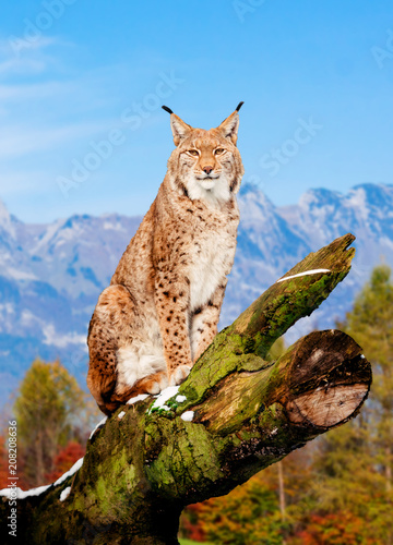 Recess Fitting Lynx Lynx, Eurasian wild cat