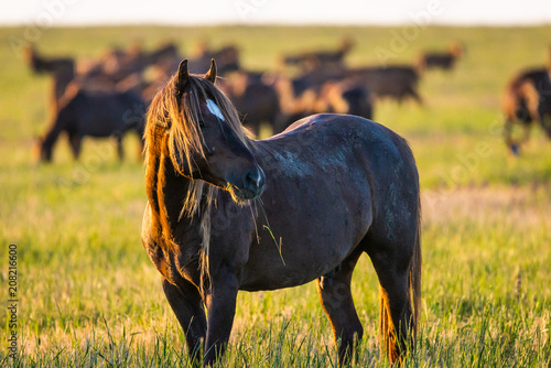 Wild horse grazing in a field at sunrise Poster