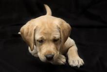 Schatje Kijkend Labrador Puppy