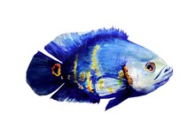 Oscar Fish Water Colour