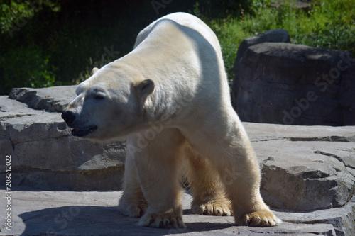 Spoed Foto op Canvas Ijsbeer Eisbär