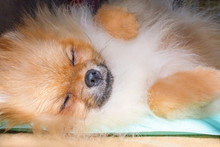 Cute Pomeranian Dog Sleeping On The Cooling Mat On A Sunny Day