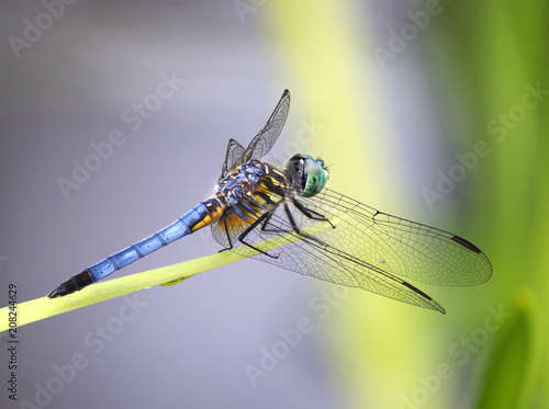 Focus Stacked Image of Blue Dasher Dragonfly
