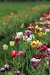 Blühende Tulpen in einem Tulpenfeld