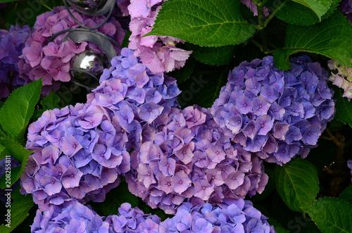 Fotobehang Hydrangea Hortensie, Hydrangea,