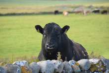 Islay Bull
