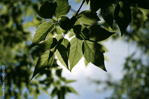 Fotografie, Obraz  Branch with leaves on the background of the sky and trees