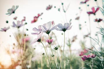 FototapetaBautiful damatic tone cosmos flower in the garden