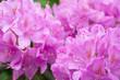 Leinwandbild Motiv Pink Azaleas flowers background.