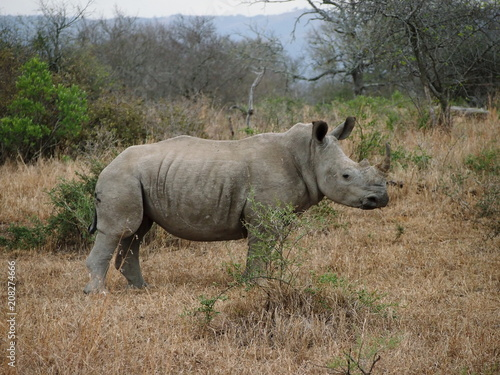White Rhino in South Africa Poster
