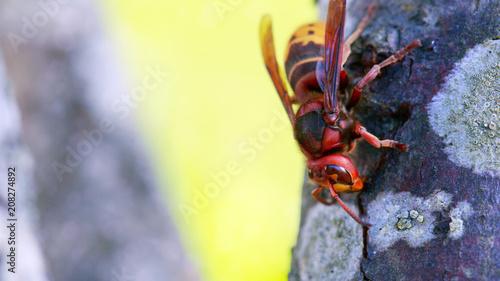 Fotobehang Macrofotografie Big wasp macro .