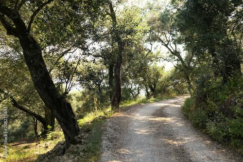 olive tree plantation on corfu island greece