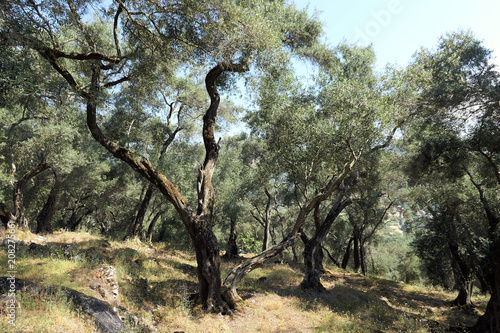 Tuinposter Olijfboom olive tree plantation on corfu island greece