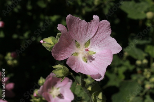 Photo Pink Garden Tree Mallow flower (or Tree Lavatera) in St