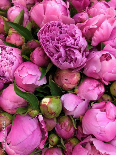 Close up Fresh Peonies Flowers Nature Background