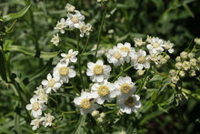 "White ""Sneezewort"" Flowers (or..."
