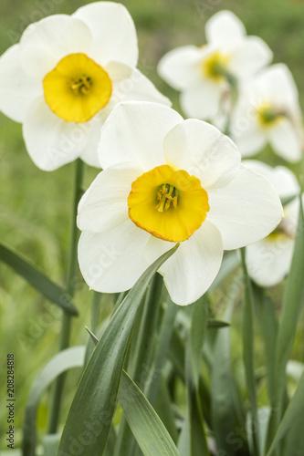 Papiers peints Narcisse White narcissus (Narcissus poeticus). Copy space