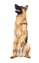 Shepherd Breed Stands On Its Hind Legs Isolated