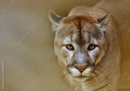 In de dag Puma Cougar looking at camera