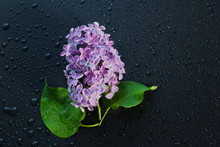 Lilac Flower And Two Lilac Leaf On Black Water Drop Background