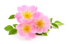 The Flowers Of Wild Rose Isola...